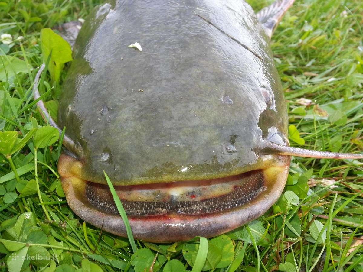 Žuvys, Mailius, Ižuvinimas, Pristatymas, Domeikava