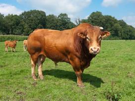 Superkame Bulius,karves,telyčias