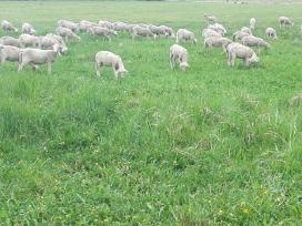 Perkame mėsines avis ir ėriukus