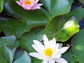 Auksinio atspalvio tujos ir daugybė kitų augalų - nuotraukos Nr. 2