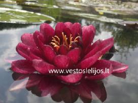 Vestos Vandens Lelijos - nuotraukos Nr. 2