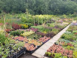 Daugiametės gėlės, dekoratyviniai augalai