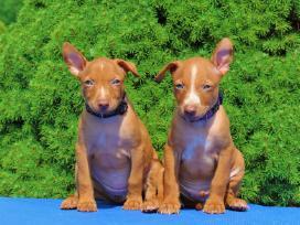 Sicilijos kurtų (Cirneco dell Etna) šuniukai