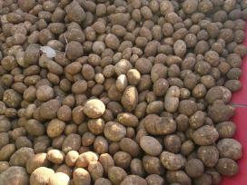 Bulvės (sertifikutos) dideliais kiekiais - nuotraukos Nr. 2