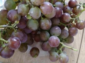 Vynmedžių arba vynuogių sodinukai
