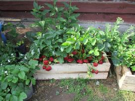 Braškių daigai - sodinukai - Žemuogių krūmai - nuotraukos Nr. 4