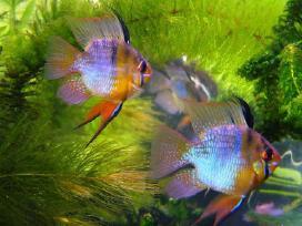 Akvariumines zuvys Nauja siunta