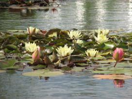 Vandens lelijos - nuotraukos Nr. 4