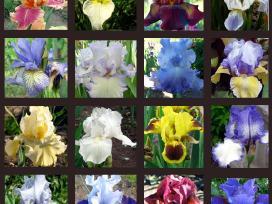 Daugiamečiai augalai - Vilkdalgiai ir Viendienės