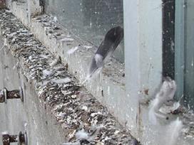 Apsaugos nuo paukščių - nuotraukos Nr. 2
