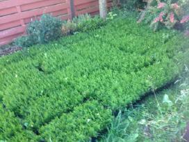 Tujos auginimui Smaragd-1metų multipaletėse - nuotraukos Nr. 2