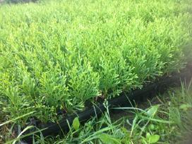 Tujos auginimui Smaragd-1metų multipaletėse - nuotraukos Nr. 3