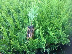 Tujos auginimui Smaragd-1metų multipaletėse