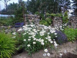 Auksinio atspalvio tujos ir daugybė kitų augalų - nuotraukos Nr. 4