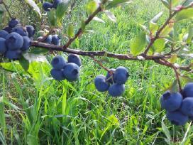 Šilauogių ir sausmedžių sodinukai