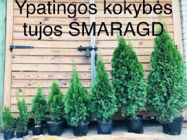 Tujos Smaragd nuo 25cm. iki 1,70 m._akcija!