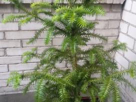 Smaragdinės tujos ir kiti dekoratyviniai augalai - nuotraukos Nr. 2
