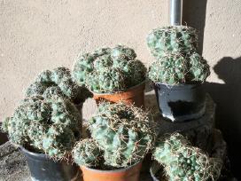 Pigiai parduodu įvairius kaktusus