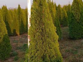 Tujos Smaragd Aukštos 2,5 M - nuotraukos Nr. 2