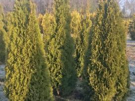 Tujos Smaragd Aukštos 2,5 M - nuotraukos Nr. 4