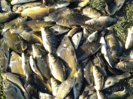 Žuvys, Mailius, Ižuvinimas, Pristatymas, Domeikava - nuotraukos Nr. 3