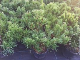 Pušys. Įvairūs dekoratyviniai augalai.