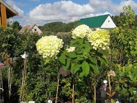 Dekoratyviniai augalai, vaismedžiai, vaiskrūmiai. - nuotraukos Nr. 2