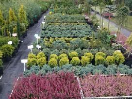 Dekoratyviniai augalai, vaismedžiai, vaiskrūmiai. - nuotraukos Nr. 3